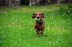 dachshund dog play ball