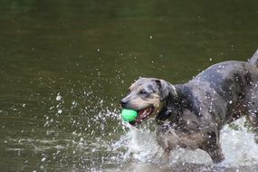 dog with a green ball in the water
