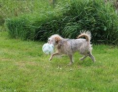 dog playing with a ball in the garden
