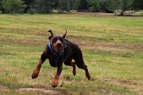 doberman dog play