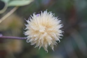 seed haed of clematis