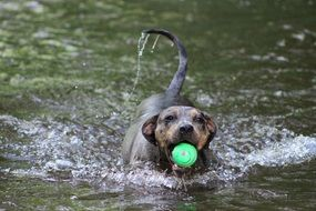 dog with a ball in the water