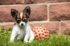 Chihuahua sits for a ball on green grass