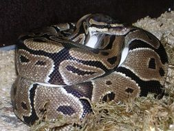 python regius, coiled snake in captivity