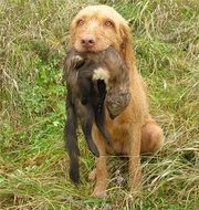 wirehaired vizsla retriever dog on a hunt