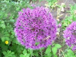 allium, purple ornamental onion blossoms