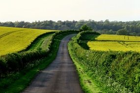 rural road going through yellow fields