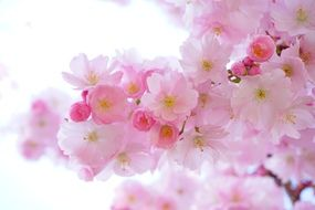 japanese Pink cherry tree blooms