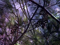sky through pine tree branches with cones