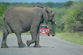in Africa, a huge elephant crosses the road