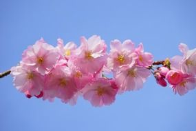 terrific japanese cherry flower
