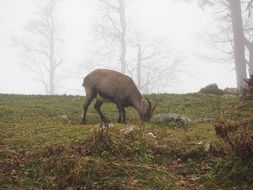 alpine ibex eats grass