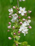 apple tree branch with flowers close up