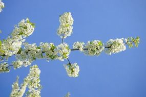 Cherry branch with white flowers against blue sky
