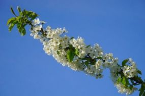 cherry branch with white flowers and green leaves