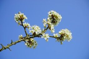 handsome blackthorn flowers