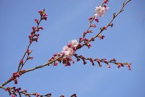 pink blooming japanese cherry