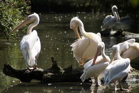handsome pelicans