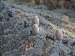 three pine cones on a branch