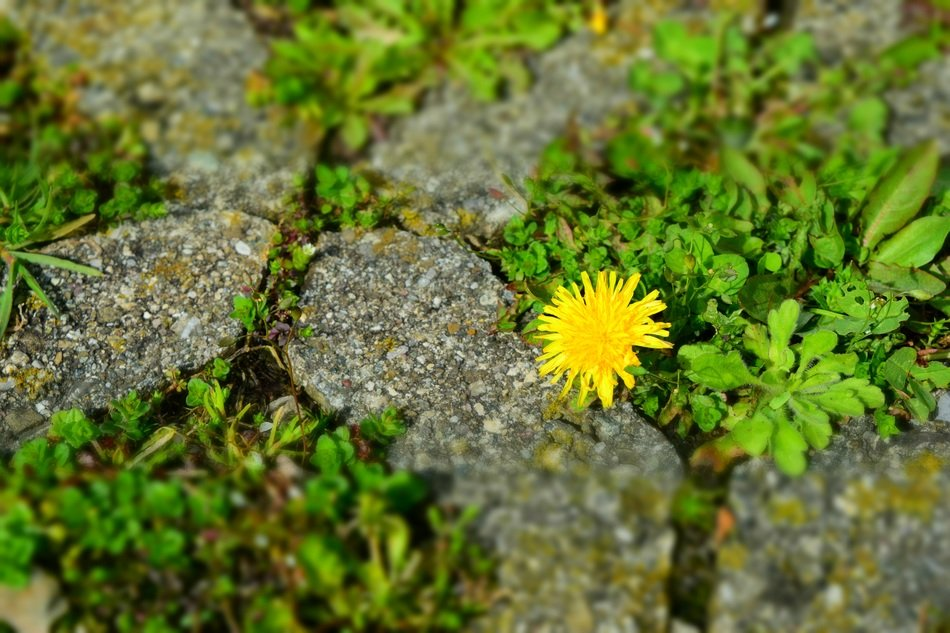 Yellow dandelion in stones