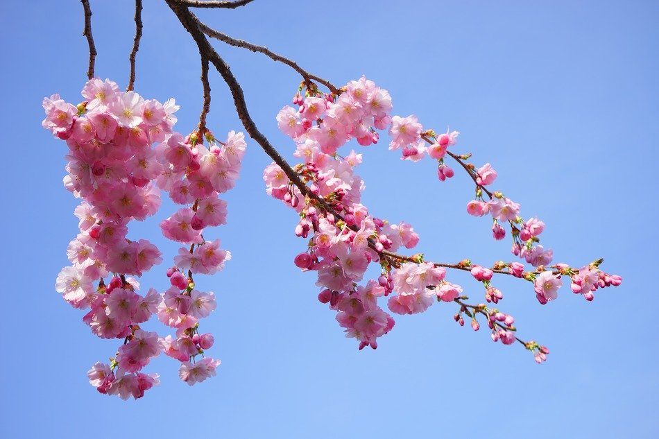 flowers on a branch of Japanese cherry against the blue sky