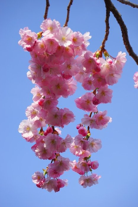 blooming Japanese cherry on thin branches