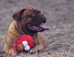 bordeaux mastiff portrait