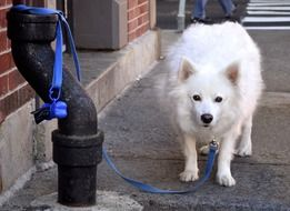 white dog tied for leash