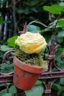rose flowerpot fence rustic