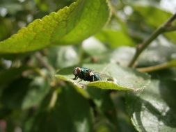 home fly on green leaf