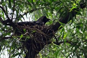 greynecked indian crow in nest on tree, india, noida