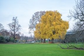 yellow tree among bare ones in park at autumn