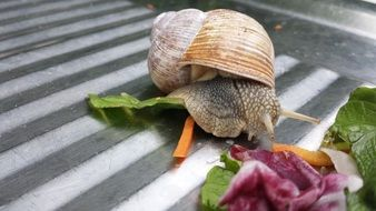 snail and lettuce leaves