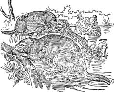 black and white image of beavers