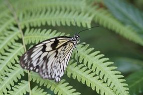 Exotic black-and-white butterfly on a green leaf