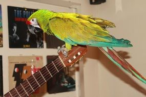 colorful macaw parrot perched guitar head