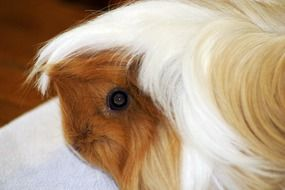 guinea pig in profile