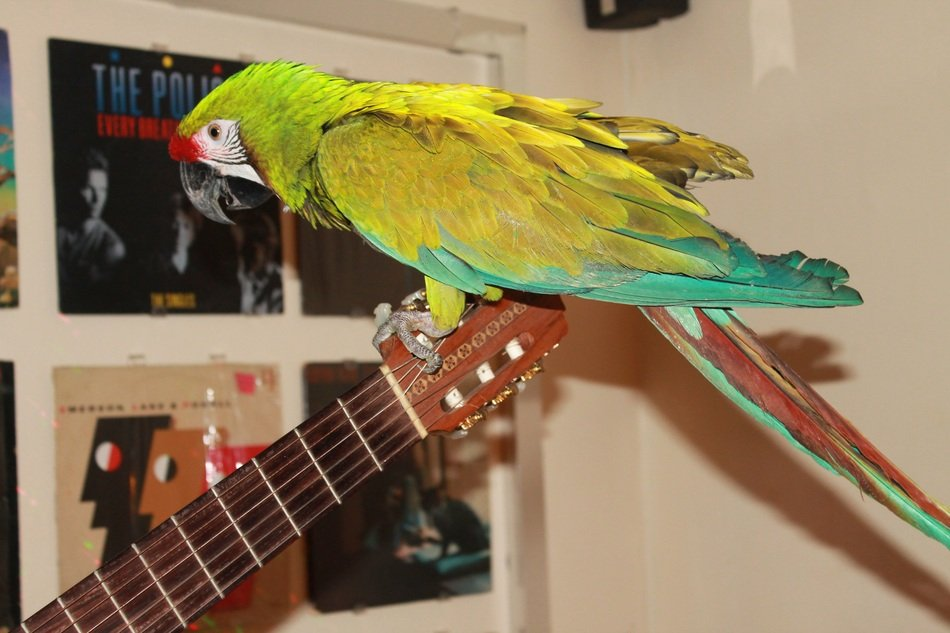 colorful macaw parrot perched guitar