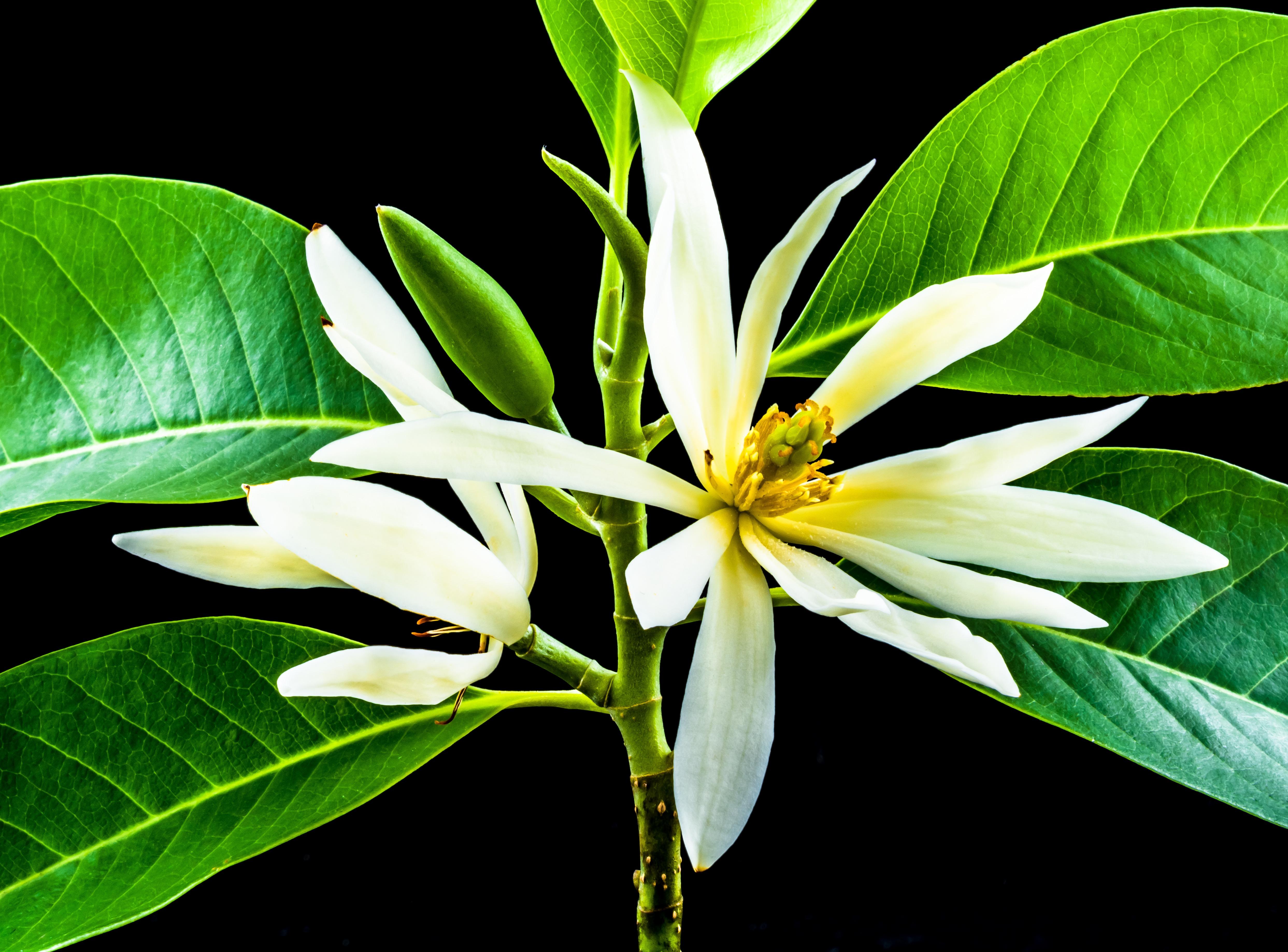 Bunga Cempaka Putih Free Image