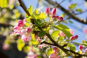 apple blossom tree branch