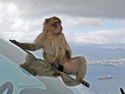 barbary macaque on the car's windshield