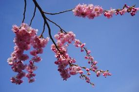 japanese cherry branches