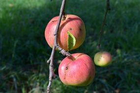 apple tree branch in autumn