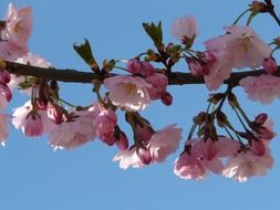pink bloom of decorative cherry