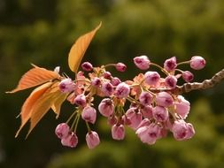 flowering branch of decorative cherry
