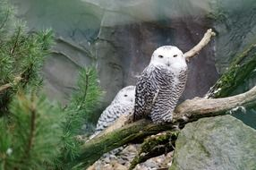 two white snowy owl