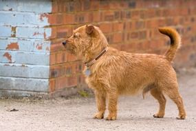 red mixed breed dog