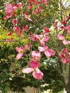 pink flowers on american dogwood in the garden