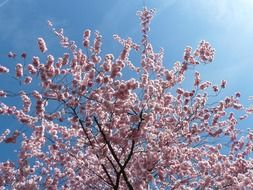 blooming branches of decorative cherry