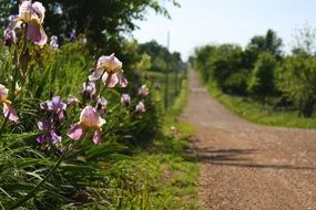 purple irises on the edge of a country road